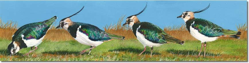 Lapwings