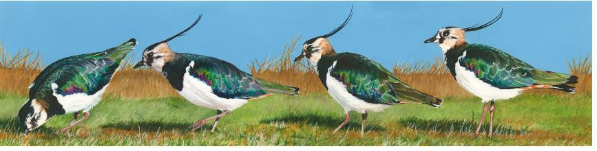 Lapwings1