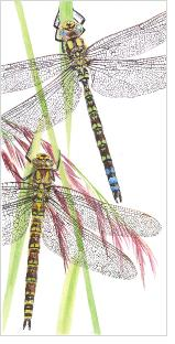 Southernhawker